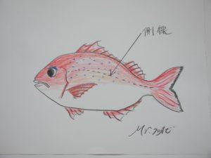 神経 神経締め 魚の神経締め 神経〆 生け締め