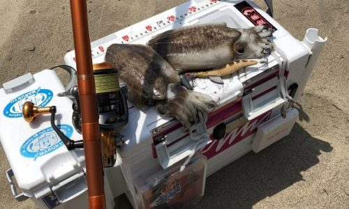 コウイカ スミイカ 新潟コウイカ釣り 季節 シーズン ポイント